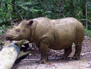 Rinoceronte di Sumatra, morto l'ultimo esemplare rimasto in Malesia