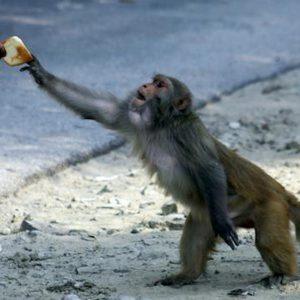 India, scimmia lancia pietra da un balcone e ferisce neonato: è morto