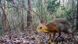 Topo-cervo riappare in Vietnam: non si vedeva da 30 anni