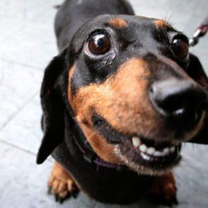 Bassotto soppresso per errore: veterinario chiama padrona sbagliata