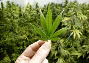Cannabis, coltivarla in casa (in minime quantità) non è più reato