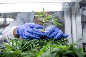 Cannabis legale, gli emendamenti di Francesco Mollame alla manovra che provano a disciplinare il settore