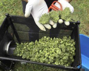 Cannabis light torna legale: sotto 0,5% di Thc vendita libera. Esultano tremila imprese