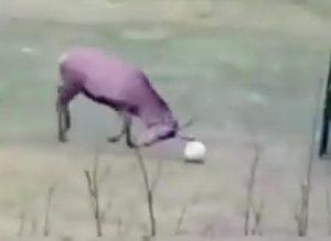 cervo segna un gol ed esulta, il suo balletto è virale sui social VIDEO