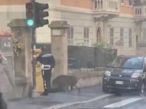 cinghile attraversa strada genova