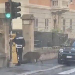 cinghilae attraversa strada genova