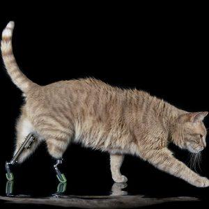 Vito, il gatto bionico: due protesi al posto delle zampe posteriori