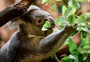 Australia, koala sempre più in via di estinzione: un terzo è morto negli incendi degli ultimi mesi