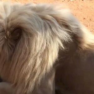 Il leone sta mangiando, i turisti si avvicinano per riprenderlo e lui reagisce così VIDEO