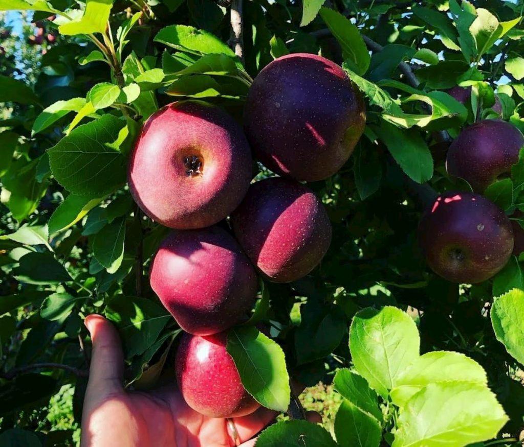 Melannurca Campana IGP: gustosa e sana eccellenza dalla storia millenaria