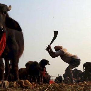 Nepal, festival del sangue per la dea indù Gadhimai: ogni anno macellati 200mila animali in 3 giorni
