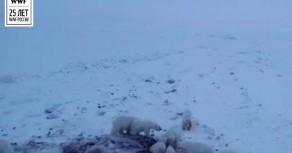 Russia, 56 orsi bianchi invadono un villaggio in cerca di cibo. E gli abitanti li sfamano VIDEO