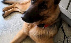 """Cesano Maderno, cane avvelenato dai ladri. La padrona: """"L'hanno ucciso per poter rubare a casa mia"""""""