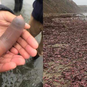 Pesci pene, migliaia di esemplari ricoprono una spiaggia in California