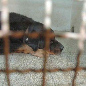 Pozzonovo: Massimo Sartori non è stato ucciso dai rottweiler della fidanzata. Anzi i due cani...