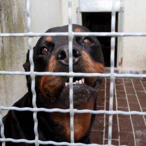 Pozzonuovo, azzannato dai rottweiler della compagna: 49enne muore dissanguato