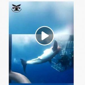 squalo guadalupe messico