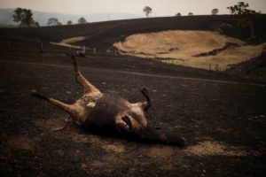 animali morti australia