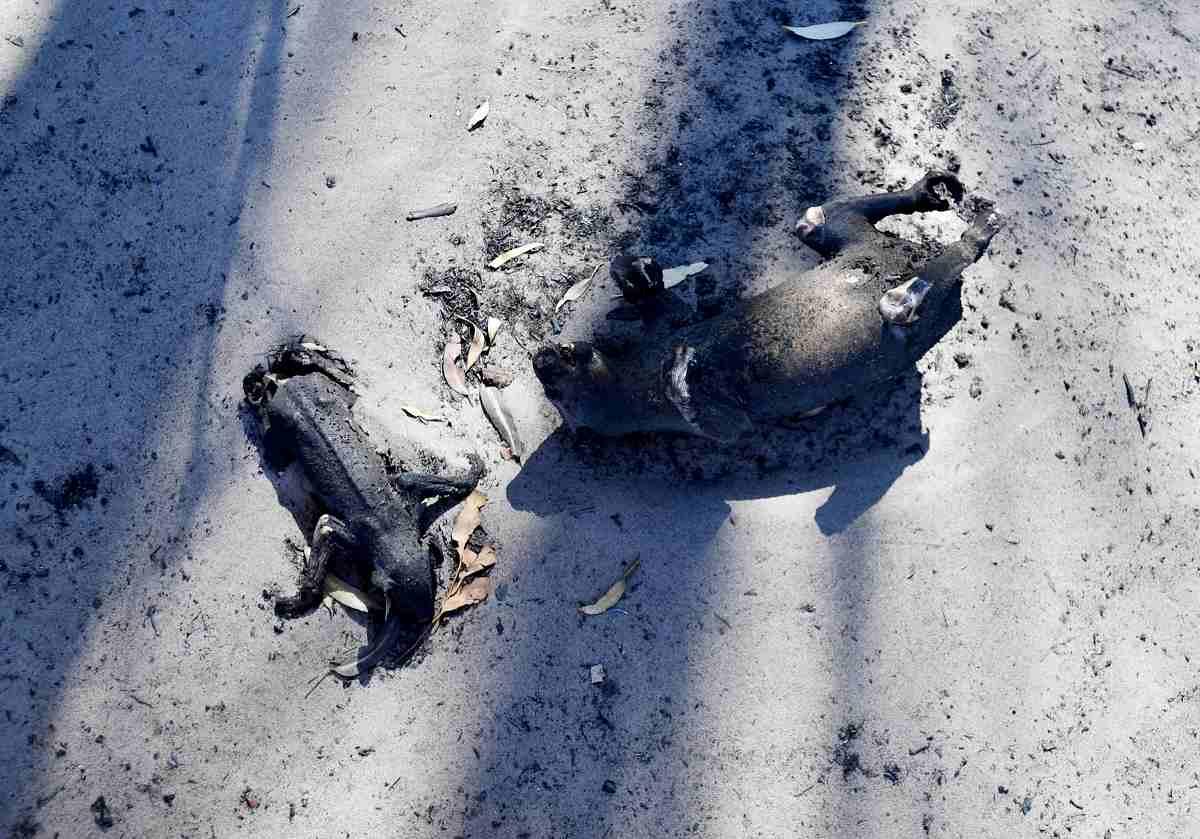 australia incendi animali morti