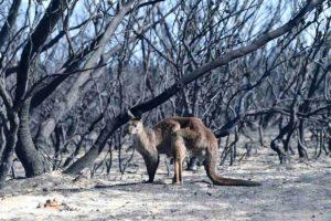 australia incendi animale