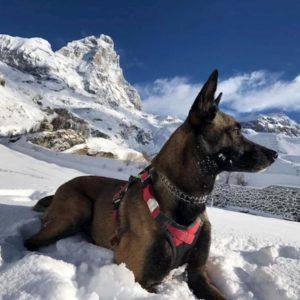 Cervino: Malice, cane soccorritore, sopravvive 16 giorni sui ghiacciai