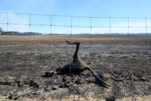 """Incendi in Australia, Wwf: """"Oltre un miliardo di animali morti tra koala, canguri ed altri"""""""