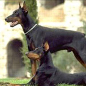 Cani di razze pericolose, a Milano obbligo di corso e patentino per i padroni