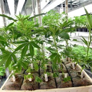 Cannabis, decreto fissa i limiti: arriva anche a tavola tra olio e farina