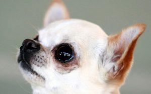 Chihuahua abbaia durante rapina, i ladri lo affogano nel water a Bergamo