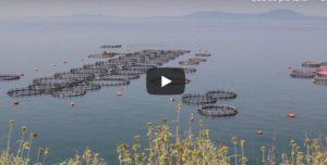 Orate e branzini, le immagini choc degli allevamenti intensivi in Grecia