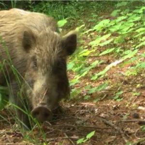 Fukushima, animali selvatici in zona esclusione come a Chernobyl
