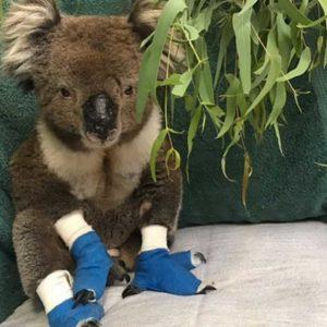 Il koala Billy è morto, era stato salvato dagli incendi in Australia con le zampe ustionate