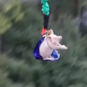 Maiale lanciato dal bungee jumping alto 68 metri per inaugurare un parco giochi VIDEO