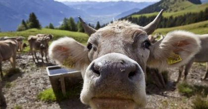 Mucche chiacchierano tra di loro di cibo e del tempo. Coi muggiti esprimono emozioni