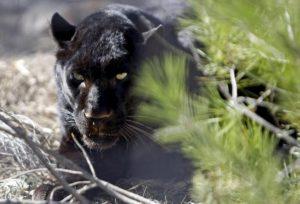 Pantera nera in fuga, la caccia si sposta nei boschi del Gargano. E lì nemmeno i droni...