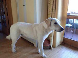 Red, il cane disperso all'Abetone ritrovato dopo 59 giorni: era a 50 km da casa