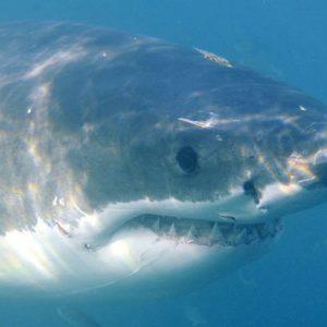Lo squalo bianco rischia l'estinzione nel mar Mediterraneo