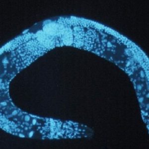 Vivere fino a 500 anni: l'esperimento su un verme che gli allungato la vita del 500%