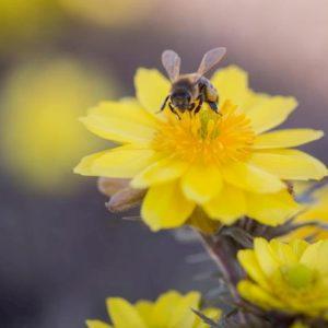 La finta primavera risveglia 50 miliardi di api: anticipo di un mese, se torna il freddo muoiono