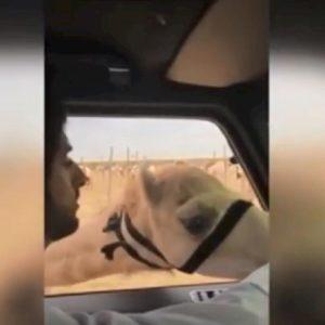 cammelli principe dubai