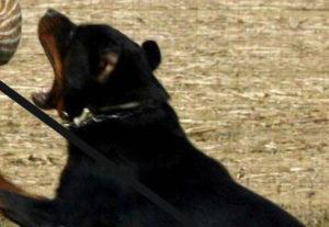 Rottweiler azzanna nonna che difende il nipotino a Bologna
