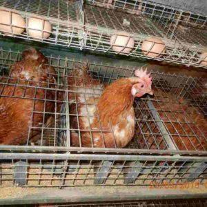 S. Agata dei Goti: oltre 1000 galline abbattute e 55mila uova distrutte per rischio salmonella