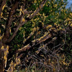 In Somalia stato di emergenza per l'invasione di locuste: divorati colture e pascoli