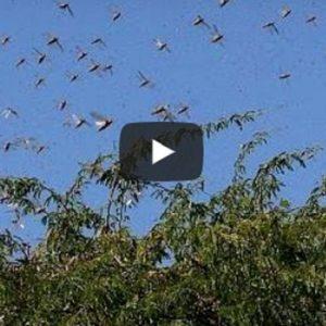 milioni di locuste in africa