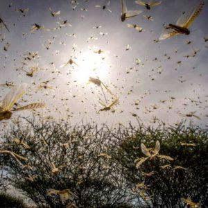 Locuste nel Corno d'Africa: l'invasione di 200 miliardi di insetti mette a rischio 10 mln di persone