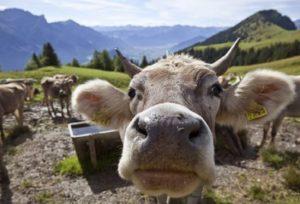 Mucca, Ansa
