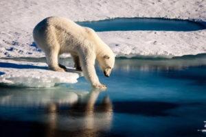 Orsi polari senza cibo e ghiaccio: allarme per cannibalismo ed estinzione