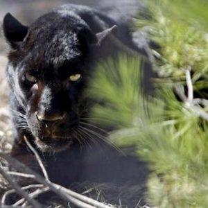 Castellana Grotte (Bari), avvistata pantera nera. L'ultima segnalazione risaliva a novembre ad Ostuni