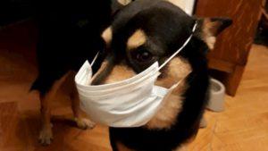 Coronavirus, cane contagiato da padrone a Hong Kong: è il primo caso di trasmissione uomo-animale