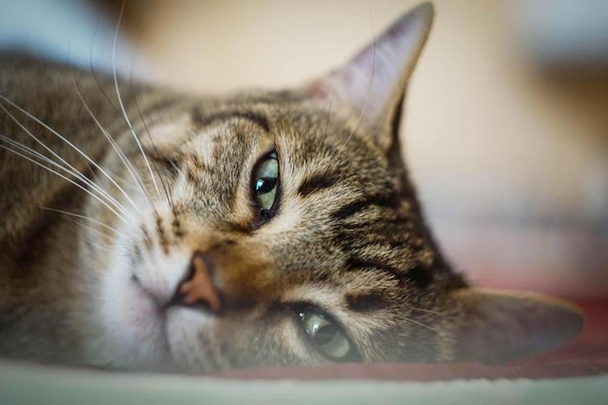 Coronavirus, in Belgio un gatto è stato contagiato dal suo padrone